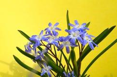 CHIONODOXA. Blue primroses early flower Stock Photography