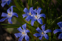 Chionodoxa blue spring flowers Royalty Free Stock Photo