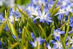 Chionodoxa fiorisce il primo piano Fotografie Stock Libere da Diritti