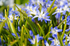 Chionodoxa floresce o close up Fotos de Stock Royalty Free
