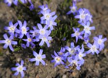 Chionodoxa flowers. Stock Images