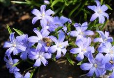 Chionodoxa flowers. Chionodoxa, known as glory-of-the-snow. Spring flowers Royalty Free Stock Photos