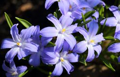 Chionodoxa flowers. Chionodoxa, known as glory-of-the-snow. Spring flowers Stock Images