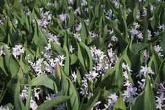 Chionodoxa forbesii Pink Giant flowering with tulip leaves in the park. royalty free stock photography