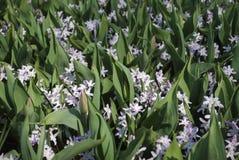 Chionodoxa-forbesii Rosa-Riese, der mit Tulpenblättern im Park blüht lizenzfreie stockfotografie