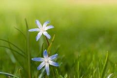 Chionodoxa (glorie-van-de-Sneeuw) in de lente Stock Foto