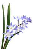 Chionodoxa, Glory of the snow royalty free stock images