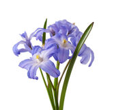 Chionodoxa, Stock Photo