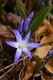 Chionodoxa luciliae Royalty Free Stock Photo