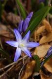 Chionodoxa luciliae Royalty Free Stock Photo