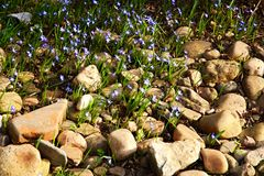 Chionodoxa luciliae flowers Stock Photo