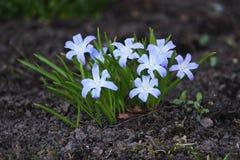 Chionodoxa luciliae Scilla luciliae flowers in spring garden, Gatchina, Russia.  Royalty Free Stock Photos