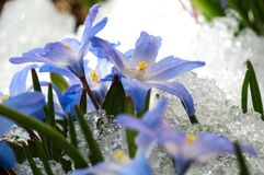 Chionodoxa in the snow. Blue flower Chionodoxa  also known as glory-of-the-snow covered with snow after snowfall in the spring Stock Photo