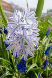 Chionodoxa in the spring. Garden close up Royalty Free Stock Photos
