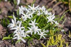 Chionodoxa in the spring garden. White chionodoxa in the spring garden closeup Royalty Free Stock Photos