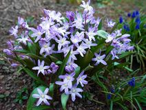 Chionodoxa, stella ordinaria, fiori della molla della Gloria-de--neve nel giardino fotografie stock