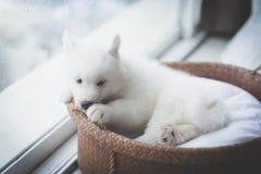 Chiot à la fenêtre, filtre de vintage Image stock