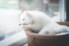 Chiot à la fenêtre, filtre de vintage Images libres de droits