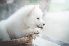 Chiot à la fenêtre, filtre de vintage Photo stock
