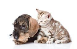 Chiot à poils durs de teckel et chaton minuscule ensemble D'isolement sur le blanc Photos libres de droits