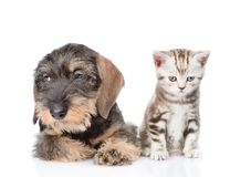 Chiot à poils durs de teckel et chaton minuscule se reposant dans la vue de face D'isolement Image stock