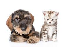 Chiot à poils durs de teckel et chaton minuscule se reposant dans la vue de face D'isolement sur le fond blanc Photographie stock