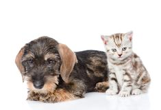 Chiot à poils durs de teckel et chaton minuscule se reposant dans la vue de face D'isolement sur le fond blanc Image libre de droits