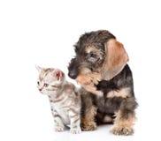 chiot à poils durs de teckel et chaton minuscule se reposant ensemble D'isolement sur le blanc Photographie stock