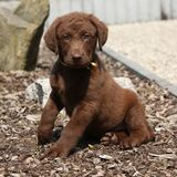 Chiot étonnant de Retriever de la Baie de Chesapeake Photo stock