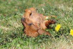 Chiot étonnant de teckel s'étendant dans le jardin Photos stock