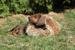 Chiot étonnant de teckel s'étendant dans le jardin Image stock