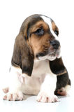 Chiot 1 de crabot Photo stock