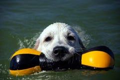 Chiot 4 de chien d'arrêt d'or Photographie stock libre de droits