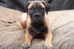 Chiot 60 de Bullmastiff Photo libre de droits