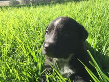 Chiot Photographie stock