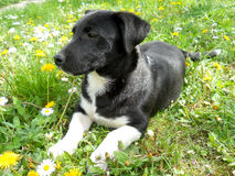 Chiot adorable Photos libres de droits