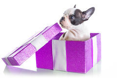 Chiot adorable de bouledogue français dans le boîte-cadeau Photographie stock