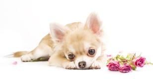 chiot adorable de chiwawa avec des roses Photographie stock libre de droits