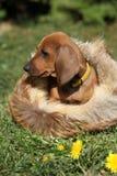 Chiot adorable de teckel se reposant dans le jardin Image stock