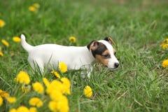 Chiot adorable de terrier de Russell de cric photographie stock libre de droits