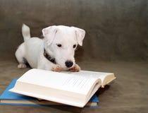 Chiot affichant un livre Photos stock