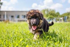 Chiot agile de berger allemand jouant sur la pelouse Photographie stock