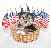 Chiot américain Photo stock
