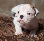 Chiot américain de bouledogue de petite couleur blanche rouge drôle sur le fond clair Photographie stock