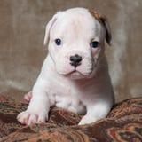 Chiot américain de bouledogue de petite couleur blanche rouge drôle sur le fond clair Photos stock