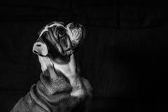 Chiot anglais de bouledogue Photo libre de droits