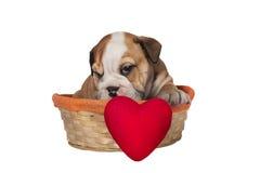 Chiot anglais de bouledogue avec le coeur Image libre de droits