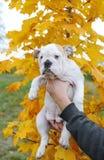 Chiot anglais de bouledogue - dans la perspective d'un arbre d'érable pendant l'automne Images stock