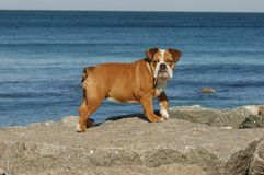 Chiot anglais de bouledogue jouant sur la plage Photo libre de droits