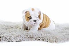 Chiot anglais mignon de chien de bouledogue Photographie stock